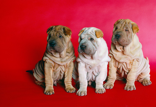 PUP 36 RK0053 13 © Kimball Stock Three Shar-Pei Puppies Sitting Together On Red Background