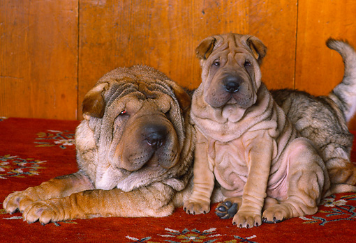 PUP 36 RK0057 41 © Kimball Stock Shar-Pei Mother Sitting With Puppy On Red Rug