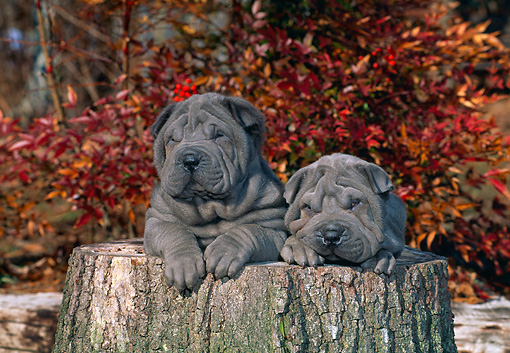 PUP 36 CE0001 01 © Kimball Stock Two Shar Pei Puppies Laying On Tree Stump In Woods