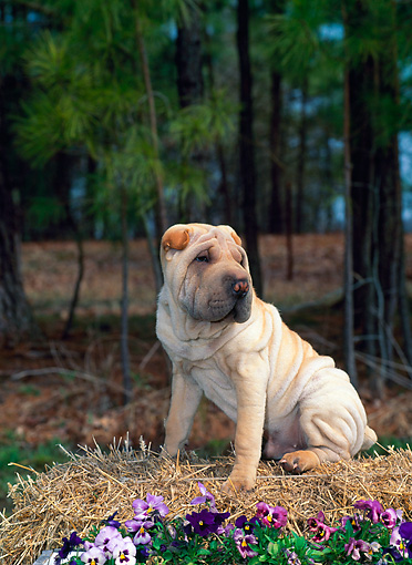 PUP 36 CE0003 01 © Kimball Stock Shar Pei Puppy Sitting On Straw Bale By Purple Flowers And Woods