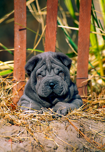 PUP 36 CE0006 01 © Kimball Stock Shar Pei Puppy Laying On Sand Dune By Fence