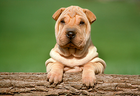 PUP 36 GR0001 01 © Kimball Stock Head Shot Of Shar Pei Puppy On Log Green Background