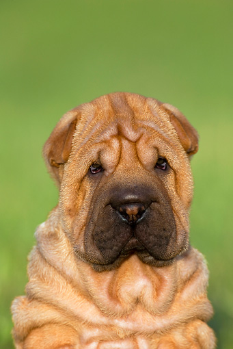 PUP 36 KH0007 01 © Kimball Stock Shar Pei Puppy Sitting In Field Shoulder Shot
