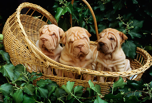 PUP 36 RC0006 01 © Kimball Stock Three Shar-Pei Puppies Sitting In Wicker Basket In Garden