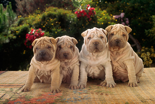 PUP 36 RC0007 01 © Kimball Stock Four Shar-Pei Puppies Sitting On Mat In Garden By Shrubs And Flowers