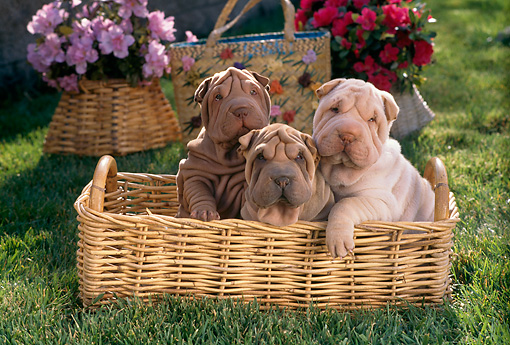 PUP 36 RC0008 01 © Kimball Stock Three Shar-Pei Puppies Sitting In Wicker Basket By Pink And Red Flowers