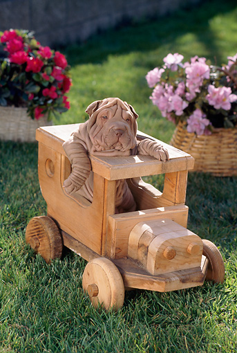 PUP 36 RC0009 01 © Kimball Stock Shar-Pei Puppy Sitting In Wooden Train On Lawn By Pink And Red Flowers