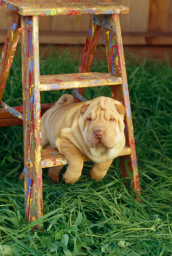 PUP 36 RC0011 01 © Kimball Stock Shar-Pei Puppy Leaning On Ladder On Grass