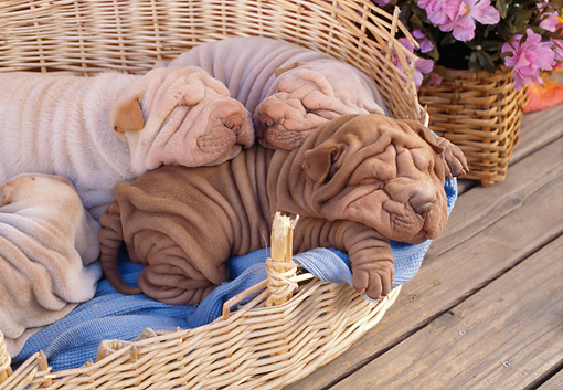 PUP 36 RC0018 01 © Kimball Stock Four Shar Pei Puppies Sleeping In Wicker Basket On Wooden Porch