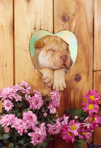 PUP 36 RC0019 01 © Kimball Stock Shar Pei Puppy Resting Head On Paws In Heart-Shaped Hole In Wooden Fence By Pink Flowers