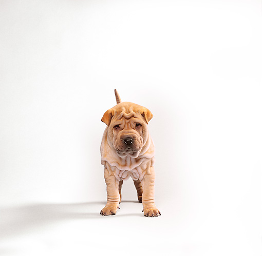 PUP 36 RK0001 12 © Kimball Stock Shar Pei Puppy Standing On Seamless