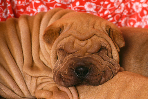 PUP 36 RK0017 02 © Kimball Stock Close Up Head Shot Of Shar-pei Sleeping Red Floral Background