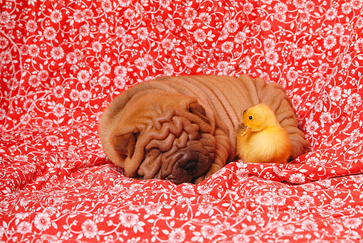 PUP 36 RK0019 01 © Kimball Stock Shar-pei Puppy Sleeping With Duckling On Red Floral Sheet