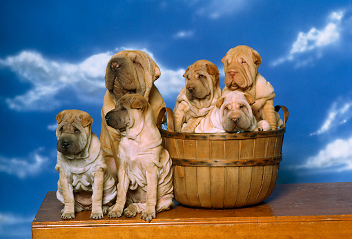 PUP 36 RK0025 03 © Kimball Stock Shar-pei Mother And Five Puppies Sitting Together By Basket Cloudy Blue Sky