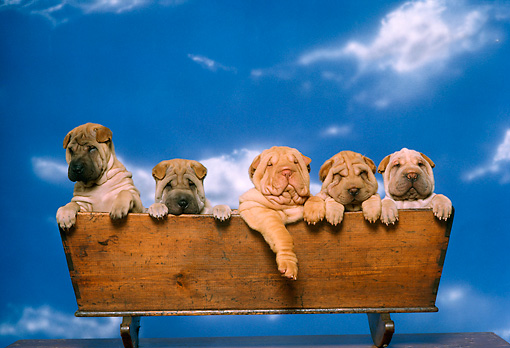 PUP 36 RK0028 08 © Kimball Stock Head Shot Of Shar-pei Puppies Sitting In Wooden Box Studio