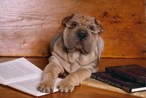 PUP 36 RK0039 30 © Kimball Stock Shar Pei Puppy Laying Glasses Reading Books