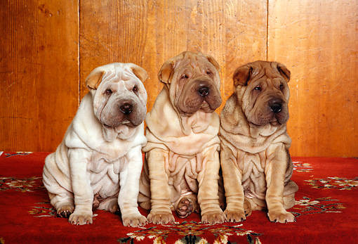 PUP 36 RK0052 06 © Kimball Stock Three Shar Pei Puppies Sitting On Red Rug