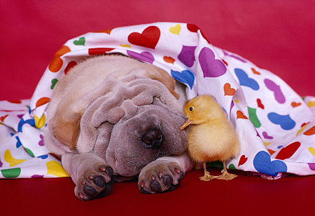 PUP 36 RK0070 07 © Kimball Stock Head Shot Of Shar-Pei Puppy Laying Under Colorful Heart Sheet With Duckling Red Background