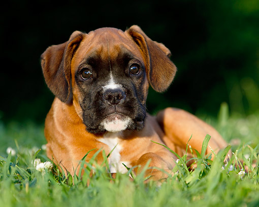 PUP 37 CB0002 01 © Kimball Stock Close-Up Of Boxer Puppy Laying On Grass