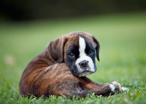 PUP 37 CB0003 01 © Kimball Stock Close-Up Of Boxer Puppy Laying On Grass