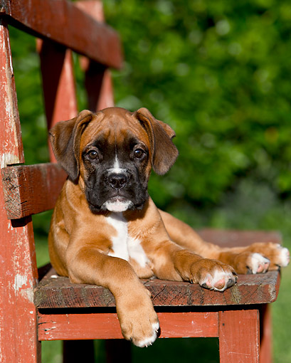 PUP 37 CB0005 01 © Kimball Stock Boxer Puppy Laying On Chair On Grass