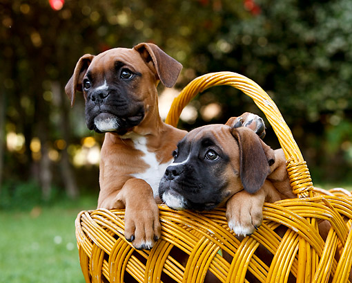 PUP 37 CB0007 01 © Kimball Stock Two Boxer Puppies Sitting In Wicker Basket On Grass