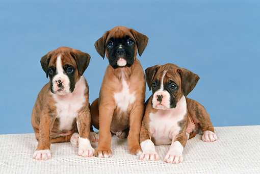 PUP 37 FA0003 01 © Kimball Stock Boxer Puppies Sitting On White Blanket