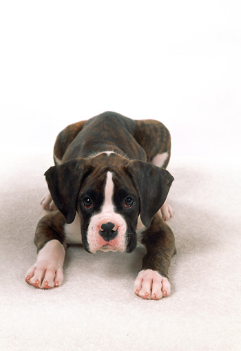 PUP 37 FA0005 01 © Kimball Stock Boxer Puppy Laying On White Carpet