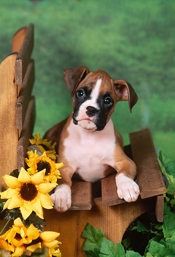 PUP 37 FA0006 01 © Kimball Stock Boxer Puppy Laying On Wooden Bench By Flowers
