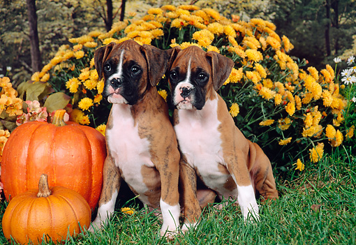 PUP 37 FA0010 01 © Kimball Stock Boxer Puppies Sitting On Grass By Flowers And Pumpkins