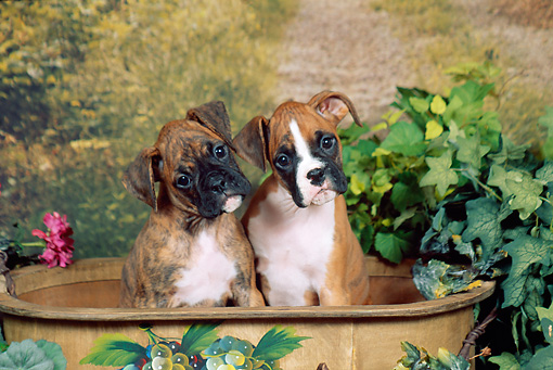 PUP 37 FA0011 01 © Kimball Stock Boxer Puppies Sitting In Wooden Tub By Shrubs
