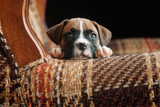 PUP 37 GR0004 01 © Kimball Stock Boxer Puppy Laying On Armchair