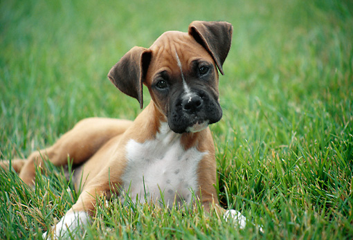 PUP 37 GR0011 01 © Kimball Stock Boxer Puppy Laying On Grass Tilting Head