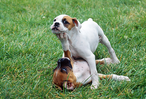 PUP 37 GR0013 01 © Kimball Stock Two Boxer Puppies Play Fighting On Lawn