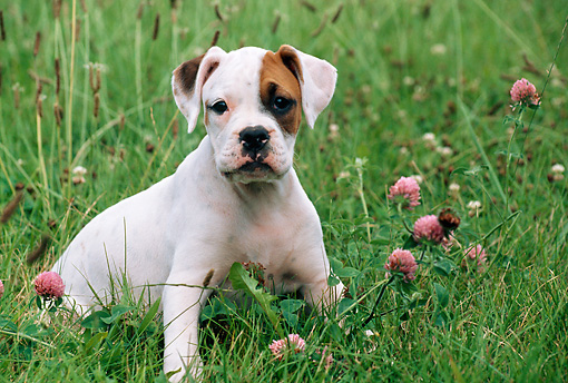 PUP 37 GR0016 01 © Kimball Stock Boxer Puppy Sitting In Field By Wildflowers
