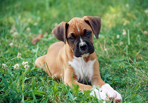 PUP 37 GR0022 01 © Kimball Stock Boxer Puppy Laying On Lawn