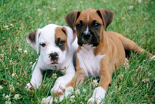 PUP 37 GR0023 01 © Kimball Stock Boxer Puppies Laying On Lawn