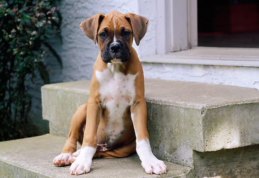 PUP 37 GR0030 01 © Kimball Stock Boxer Puppy Sitting On Cement Step