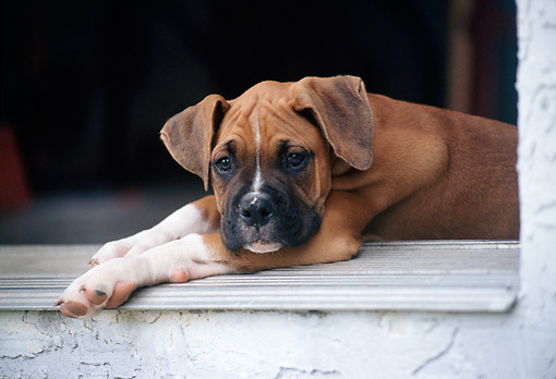 PUP 37 GR0031 01 © Kimball Stock Boxer Puppy Resting At Garage Doorway