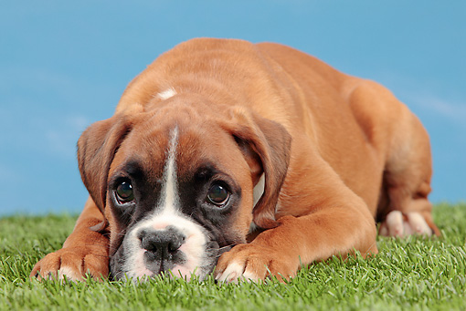 PUP 37 JE0003 01 © Kimball Stock Boxer Puppy Laying On Grass Against Blue Sky