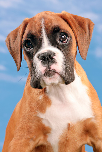 PUP 37 JE0004 01 © Kimball Stock Portrait Of Boxer Puppy Against Blue Sky