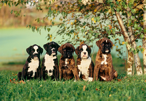 PUP 37 KH0009 01 © Kimball Stock Boxer Puppies Sitting In A Row On Grass