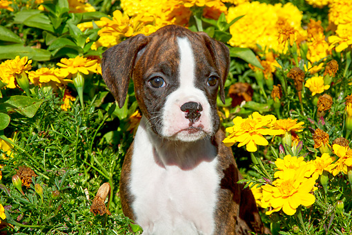 PUP 37 LS0001 01 © Kimball Stock Boxer Puppy Sitting By Yellow Autumn Flowers