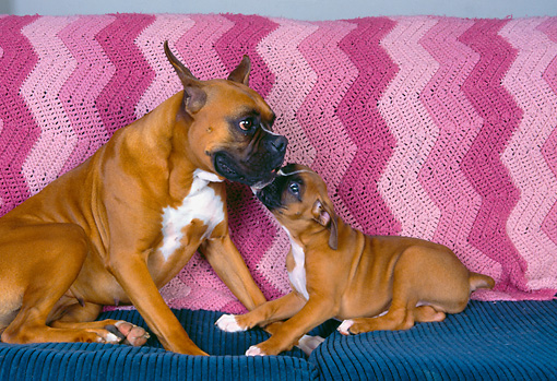 PUP 37 RK0013 02 © Kimball Stock Boxer Mom And Puppy By Pink Blanket