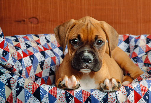 PUP 37 RK0020 04 © Kimball Stock Boxer Puppy Laying On Quilt In Basket