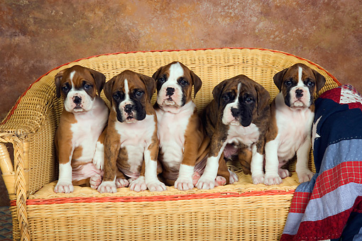 PUP 37 RK0032 01 © Kimball Stock Five Boxer Puppies Sitting In A Row On Wicker Couch