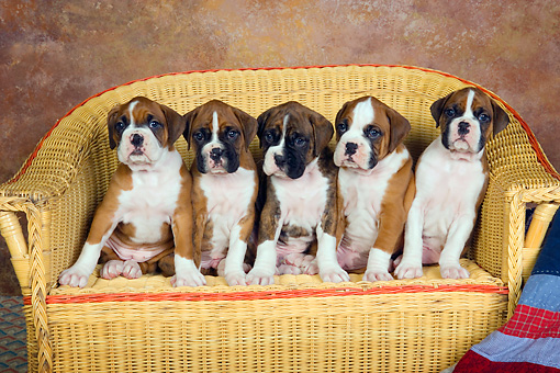 PUP 37 RK0033 01 © Kimball Stock Five Boxer Puppies Sitting In A Row On Wicker Couch