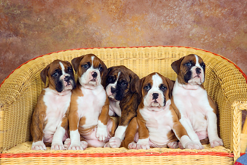 PUP 37 RK0034 01 © Kimball Stock Five Boxer Puppies Sitting In A Row On Wicker Couch