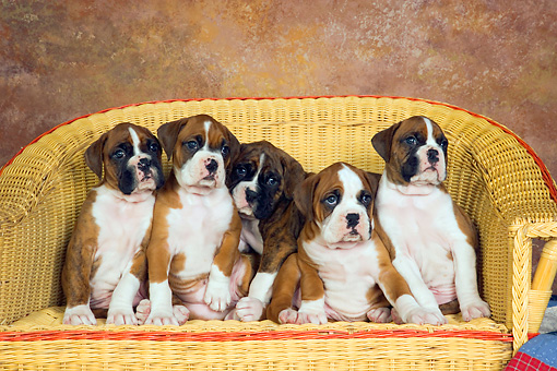 PUP 37 RK0035 01 © Kimball Stock Five Boxer Puppies Sitting In A Row On Wicker Couch