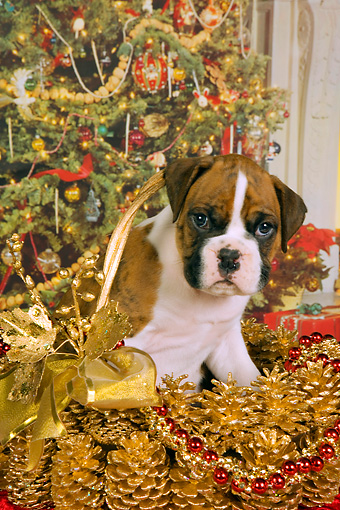 PUP 37 RK0036 01 © Kimball Stock Boxer Puppy Sitting In Christmas Basket Christmas Tree Background Studio